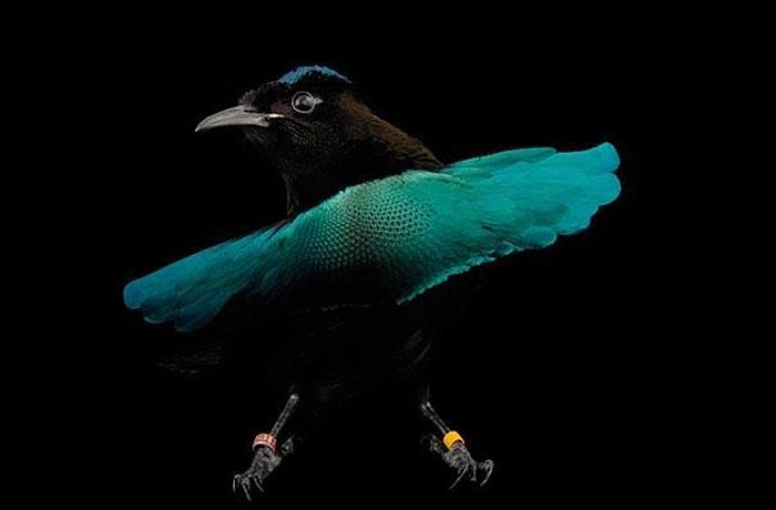 Chim thiên đường Superb màu đen có chiếc đuôi xòe tròn khá lạ mắt