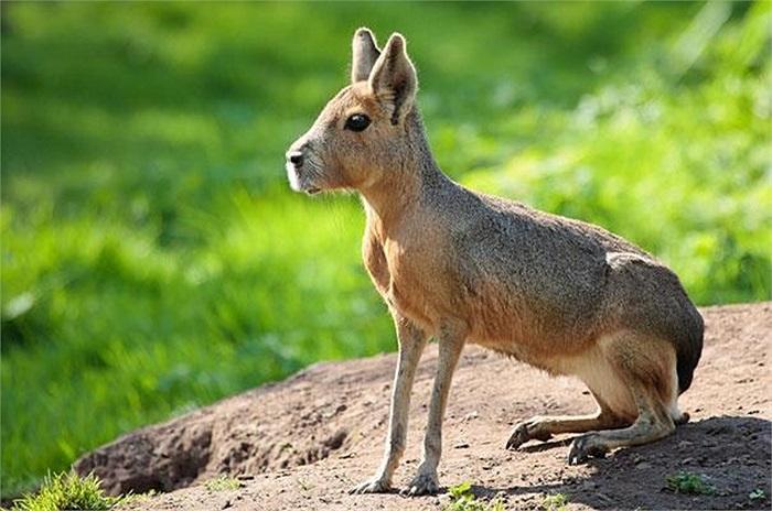 Chuột lang Patagonia (Mara) có hình dánh giống như thỏ