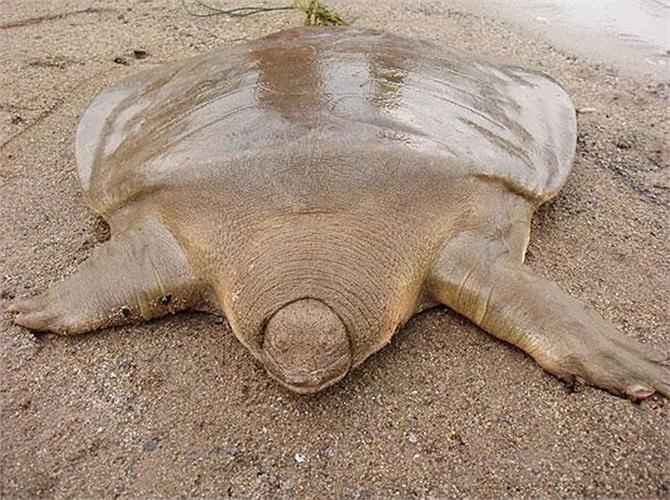 Rất ít người có may mắn được tận mặt thấy loài rùa mai mềm khổng lồ này. Chúng có kích thước khá lớn, con trưởng thành sở hữu mai dài khoảng 180cm