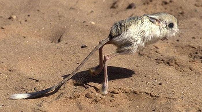 Chuột nhảy Gerbil hay chuột sa mạc là một loài động vật có vú nhỏ thuộc bộ Gặm nhấm, chúng đều có thể thích nghi với kiểu khí hậu khô hạn