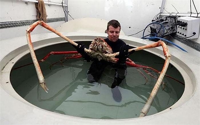 Loài cua khổng lồ này sống ở đáy biển phía Nhật Bản, nên đôi khi nó còn được gọi là cua nhện Nhật Bản