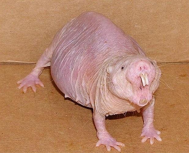 Loài chuột chũi trần truồng thân dài 8 - 9 cm, đuôi ngắn thường thấy được ở các nước châu Phi