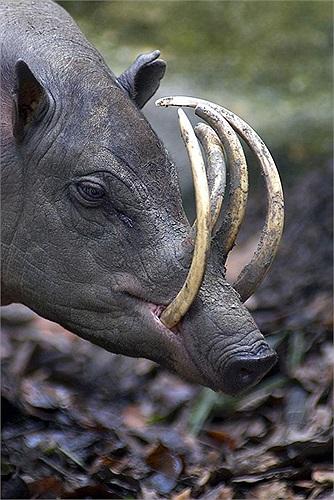 lợn Babirusa trông khá đặc biệt bởi chiếc răng nanh hàm trên phát triển, đâm xuyên vòm miệng, cong vòng gần đến mắt, gần giống ngà voi