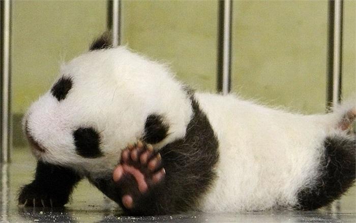 Chú gấu trúc đầu tiên được sinh ở sở thú Đài Bắc, Đài Loan bắt đầu những bước đi đầu tiên