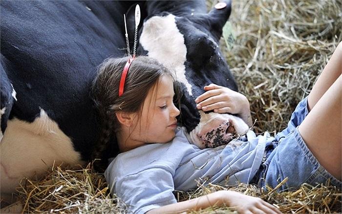 Cô bé có giấc ngủ ngắn cùng chú bò của mình tại chợ quận Somerset, Meyersdale, Pennsylvania, Mỹ
