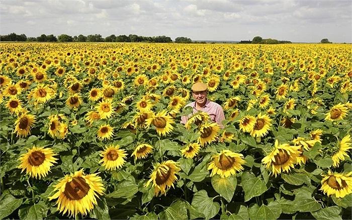 Nicholas Watts, người trồng hoa hướng dương lớn nhất nước anh trên cánh đồng của mình ở Deeping St Nicholas, Lincolnshire, Anh