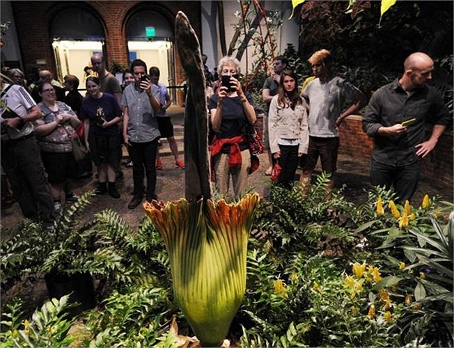 Du khách chụp ảnh hoa xác thối nở tại Nhạc viện Phipps ở Pittsburgh, bang Pennsylvania, Mỹ