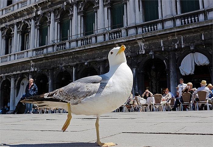 Con mòng biển phơi nắng ở quảng trường St Mark, Venice, Italia