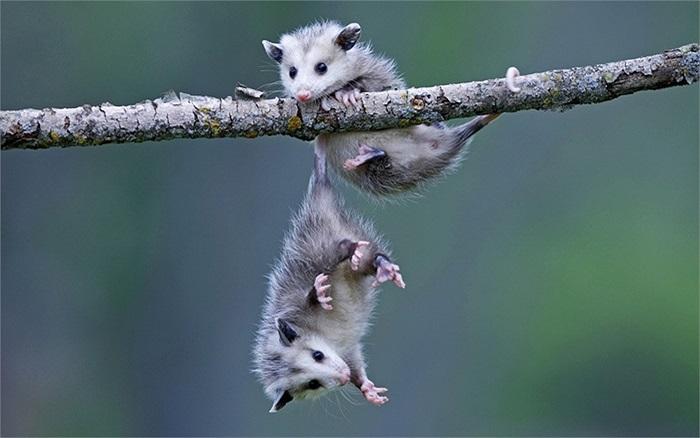 2 thú có túi sơ sinh chơi đùa trên cành cây trong một khu vườn ở Minnesota, Mỹ