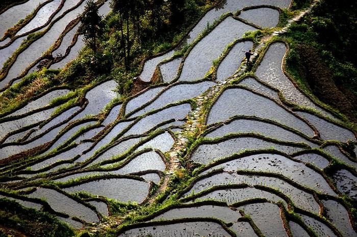 Một người đàn ông đi qua khu ruộng bậc thang ở Lâu Để, tỉnh Hồ Nam, Trung Quốc