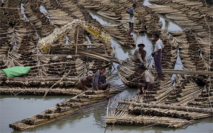 Người dân sống bằng nghề buôn tre trong bang Rakhine, Myanmar