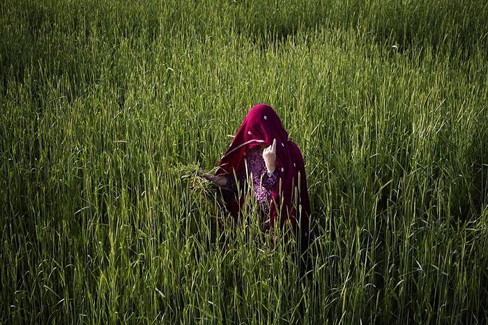 Người phụ nữ thu hoạch lúa mì trên cánh đồng ở Kabul, Afghanistan