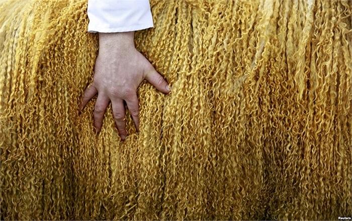 Chủ nhân đang chăm sóc lại bộ lông cho con cừu của mình khi đến dự lễ hội Balmoral ở miền bắc Ireland