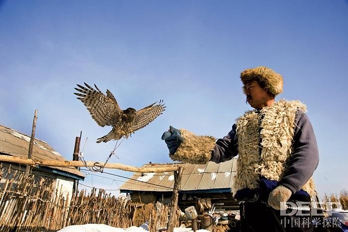 Mùa thu, người dân bắt đầu đi săn chim ưng, rồi đến mùa xuân năm sau họ lại thả chúng tự do để chúng tái sinh sản. Người nuôi chim tập cho chim ưng thói quen ăn uống