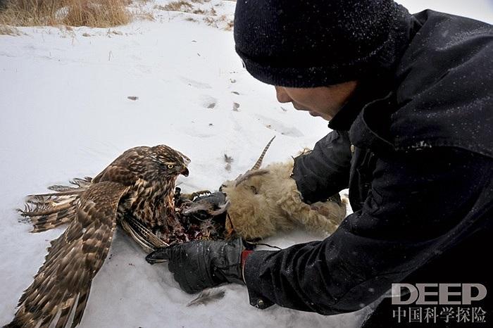 Khi săn được mồi, những chú chim ưng chỉ được phép ăn phần ruột bên trong con mồi