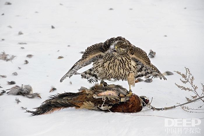 Người nuôi chim dạy chim ưng cách săn mồi ở vùng nũi Trường Bạch