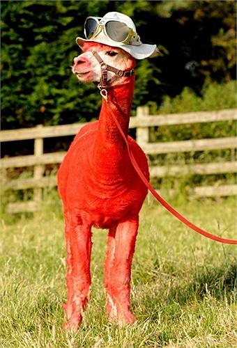 Lạc đà Mỹ được đội nón và trang trí ở trang trại Toft, Warwickshire