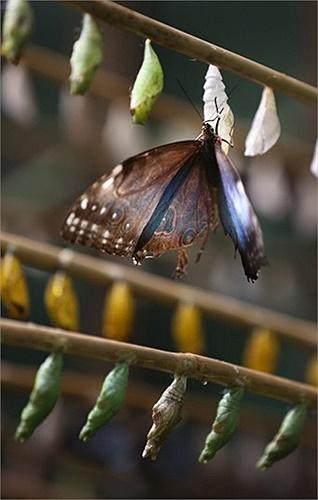 Nắng nóng đã làm gia tăng số lượng loài bướm Morpho ở gần Edinburgh