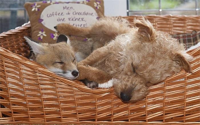 Cáo và chó nhà thành bạn thân thiết