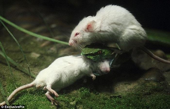 Chú chuột dũng cảm nhảy lên đầu con rắn độc để tìm cách giải cứu bạn mình