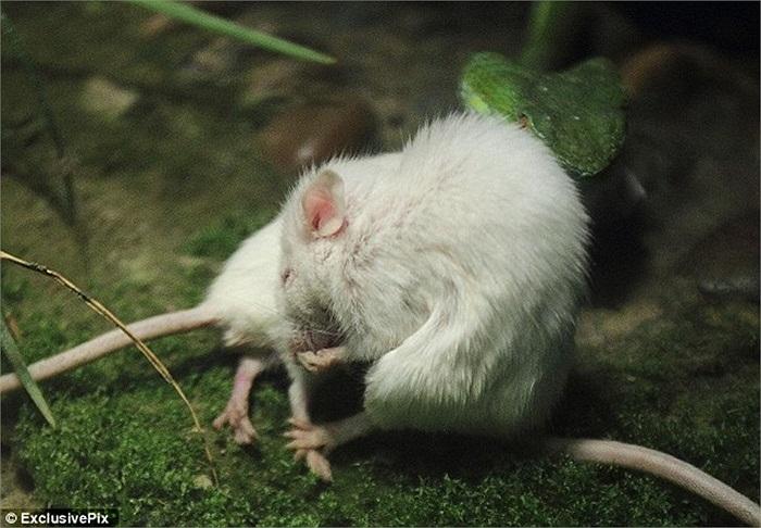 Chú chuột dũng cảm đổi cách: chui ra sau và kéo đuôi bạn mình
