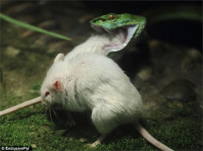 Nhưng những nỗ lực của chú chuột dũng cảm đều vô tác dụng