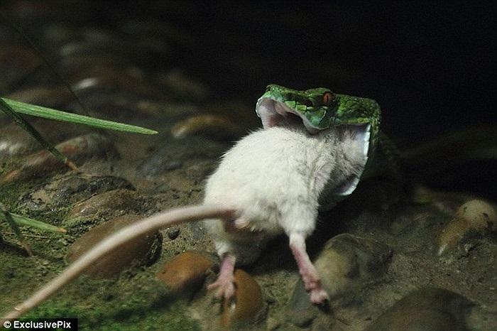 Chú chuột tội nghiệp chui gọn vào miệng con quái vật