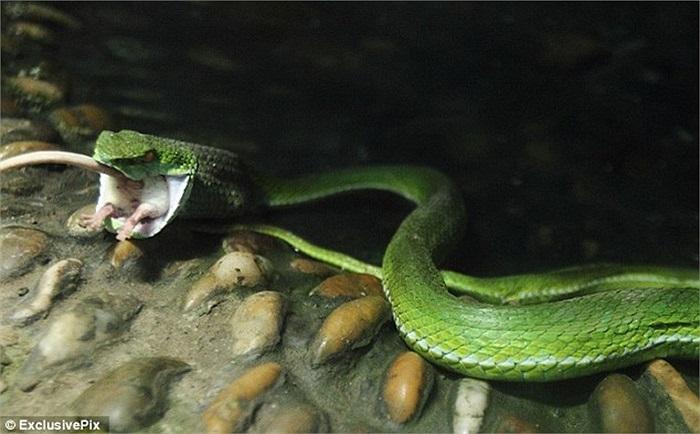 Thật đáng buồn là chỉ vài phút sau chú chuột dũng cảm cũng trở thành con mồi cho rắn độc