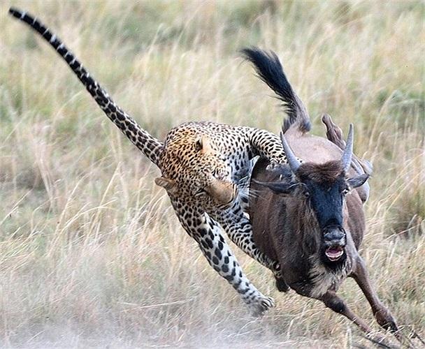 Báo đốm - loài vật nhanh nhất hành tinh tăng tốc vồ lấy con linh dương non cho bữa tối