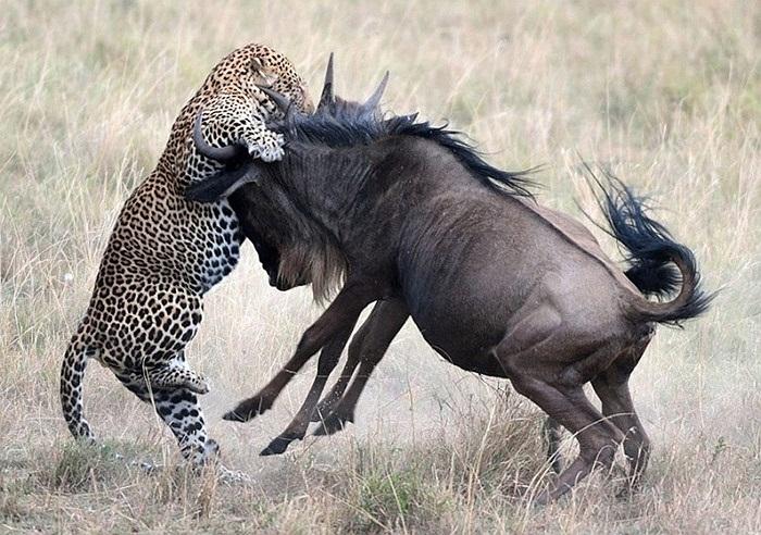 Báo đốm - loài vật nhanh nhất hành tinh tăng tốc vồ lấy con linh dương non
