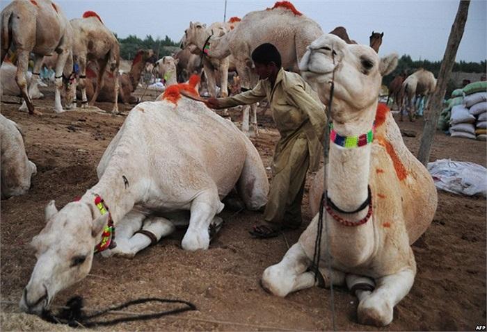 Lái buôn gia súc Pakistan chải lông lạc đà của mình tại một chợ bán động vật trước khi lễ hội Hồi giáo Eid al-Adha ở Karachi