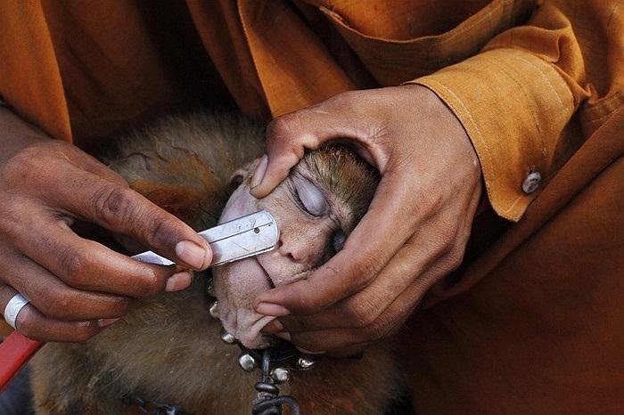 Người đàn ông cạo râu cho khỉ ở Lahore, Pakistan