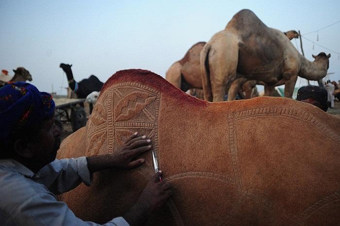 Lái buôn gia súc Pakistan trang trí lông lạc đà của mình tại một chợ bán động vật trước khi lễ hội Hồi giáo Eid al-Adha ở Karachi