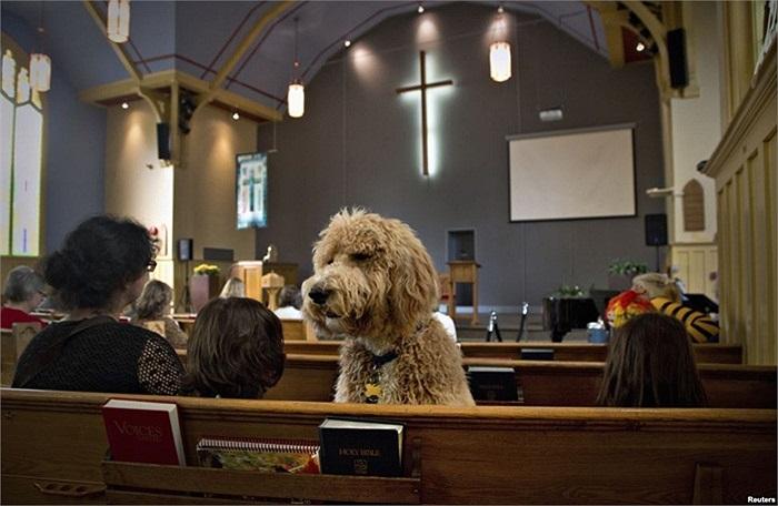 Chú chó tên là Luke ngồi trên băng ghế trong nhà thờ Liên hiệp St Andrew ở Bắc Vancouver, British Columbia, Canada