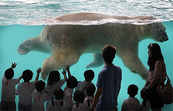 Gấu Bắc cực Inuka đầu tiên sinh ra ở vùng nhiệt đới, đang bơi trong vườn thú Singapore