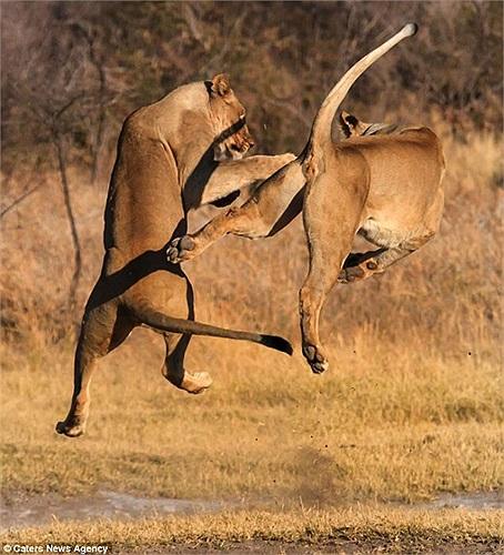 Cuộc chiến bắt đầu khi 2 con mãnh thú nhìn chằm chằm và thách thức đối phương. Cảnh hai con sư tử bay lên đấu đá lẫn nhau