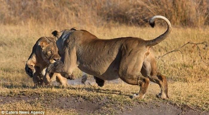 Ông Gavin Tonkinson 35 tuổi, nhà quản lý khu bảo tồn ở Nam Phi đã tình cờ bắt gặp cảnh hai con sư tử cắn xé nhau khi đưa du khách đi tham quan