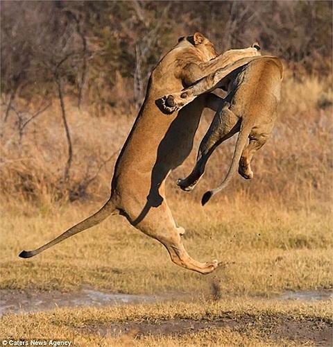 Một con sư tử nhảy cao ghìm chặt đối thủ
