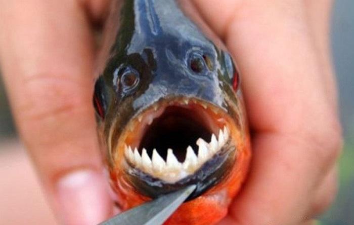 Loài cá Piranha