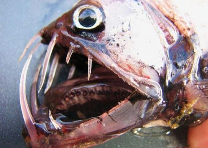 Cá rắn Viper là một trong những loài sinh vật có vẻ ngoài dữ tợn nhất của đại dương
