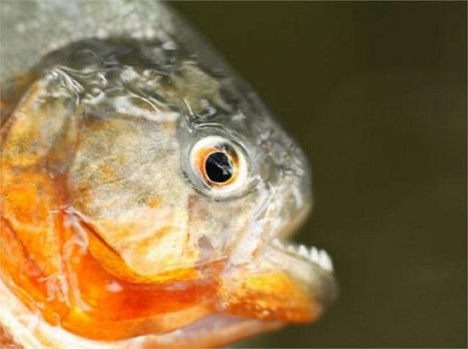 Loài cá Piranha sẵn sàng tấn công bất cứ thứ gì chúng gặp