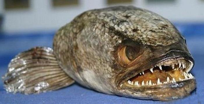 Cá lóc