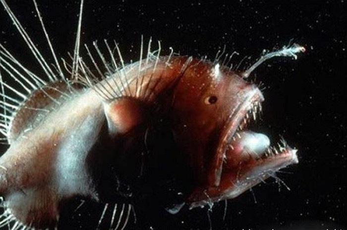 Cá biển Anglerfish lập dị, là sinh vật xấu xí nhất trên trái đất