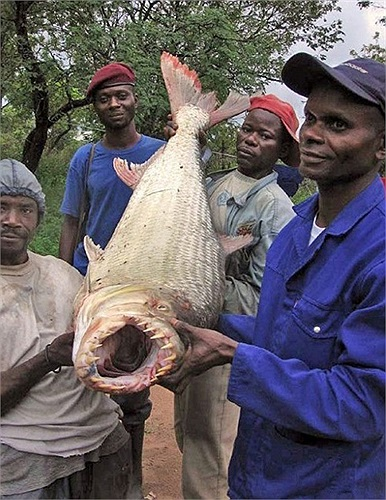 Cá hổ là loài cá săn mồi kích thước lớn