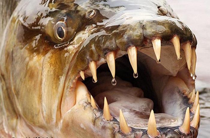 Với chiều dài lớn nhất gần 2m, cân nặng khoảng 30kg, con thủy quái này có thể dễ dàng xé nát một con mồi lớn chỉ trong vài giây