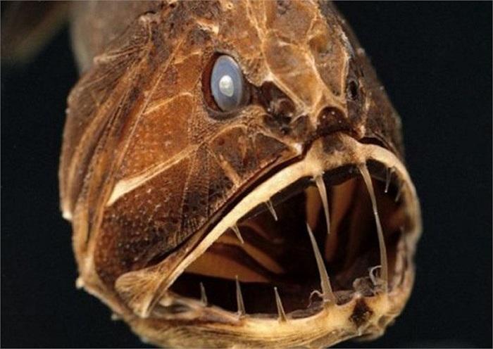Cá răng nanh có thể chén bất cứ thứ gì
