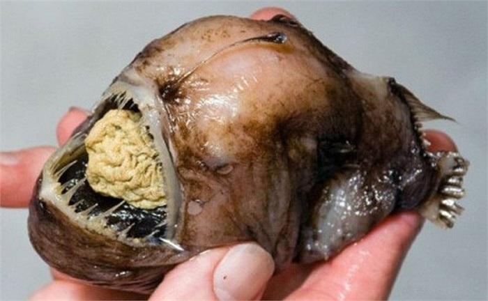 Loài này có cái miệng rộng hoác với hàm răng sắc nhọn mọc tua tủa