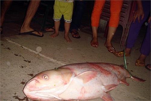 """Cá mè """"khủng"""" ở Vĩnh Long."""
