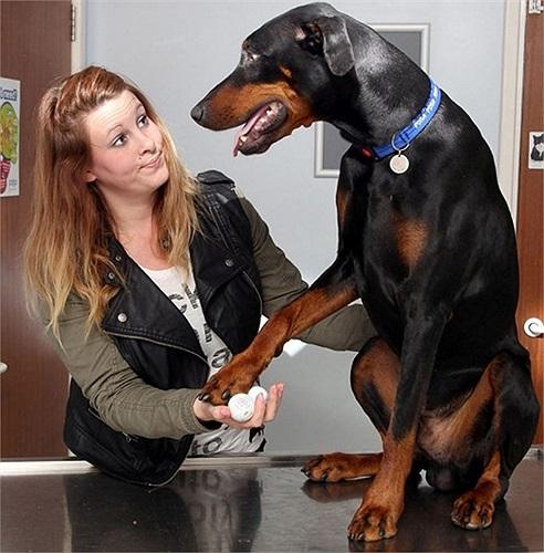 Chú chó Azar sống sót sau khi phẫu thuật vì nuốt phải 3 quả bóng golf