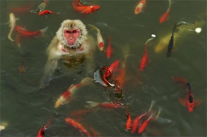 Khỉ chơi đùa cùng cá chép trong một công viên động vật hoang dã ở Hợp Phì, tỉnh An Huy, Trung Quốc